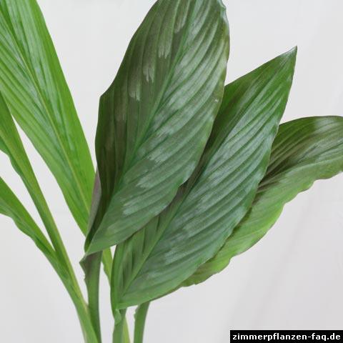 Kaempferia Blätter