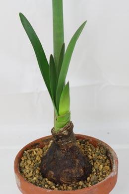 steffi hallo unsere amaryllis ist nun ausgebl ht die gr ne bl tter sind sehr lang und gro. Black Bedroom Furniture Sets. Home Design Ideas
