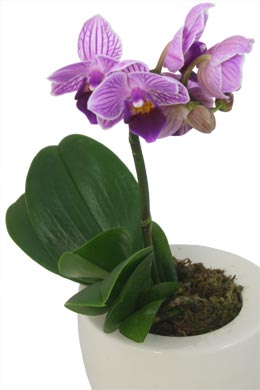 orchideen pflege pictures. Black Bedroom Furniture Sets. Home Design Ideas