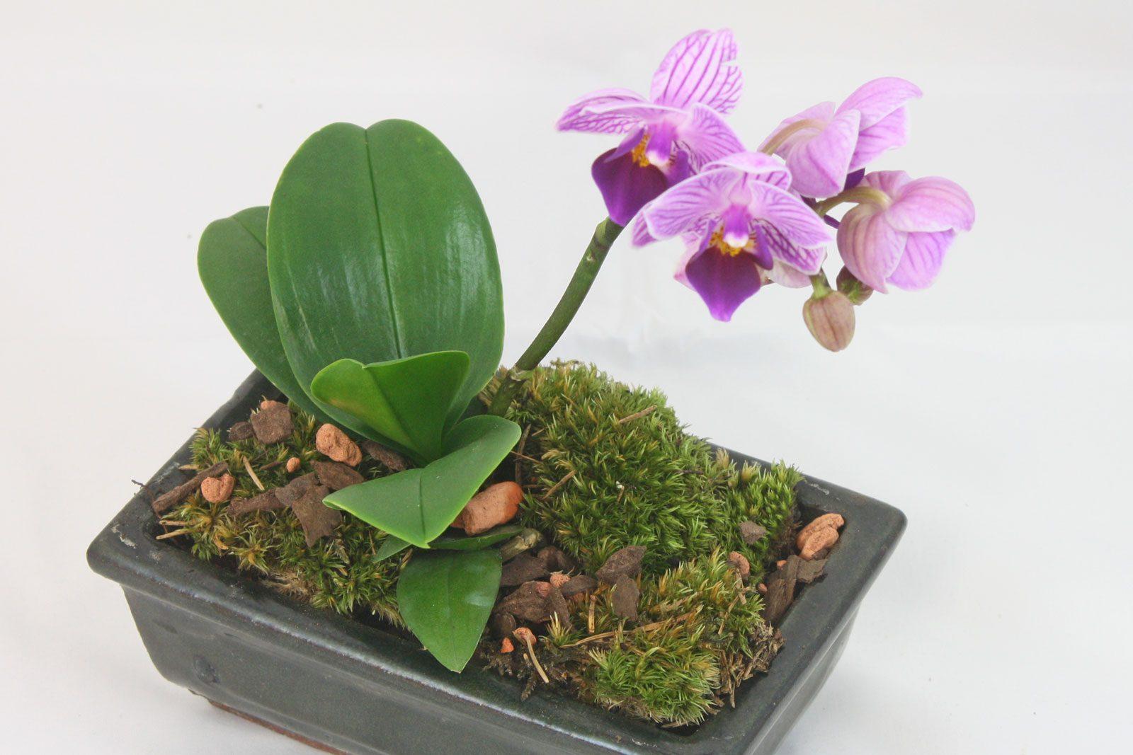 orchideen pflege. Black Bedroom Furniture Sets. Home Design Ideas