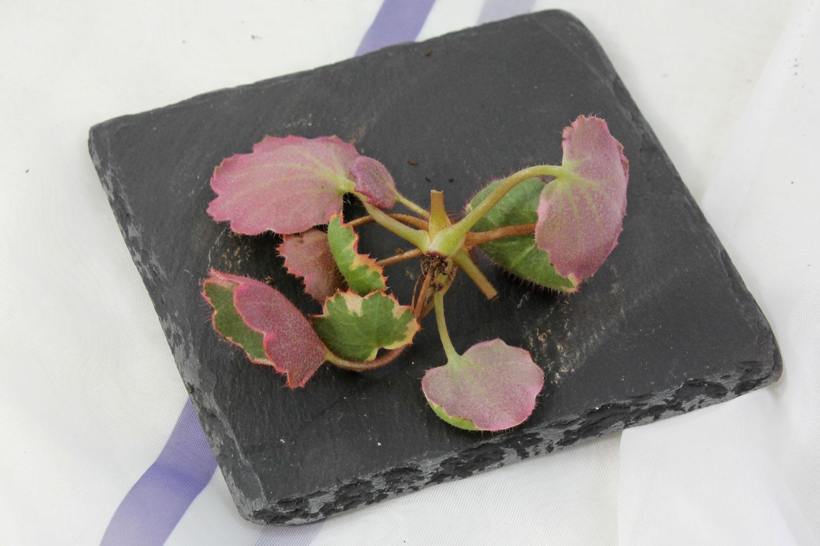 saxifraga steckling