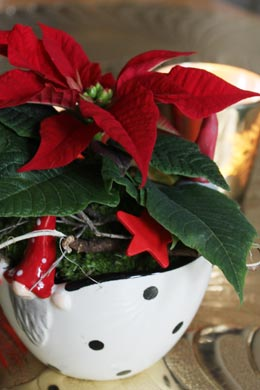Euphorbia pulcherrima (Weihnachtsstern)