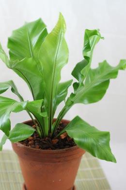 Asplenium nidus (Nestfarn)