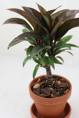 Cordyline fruticosa (Keulenlilie)