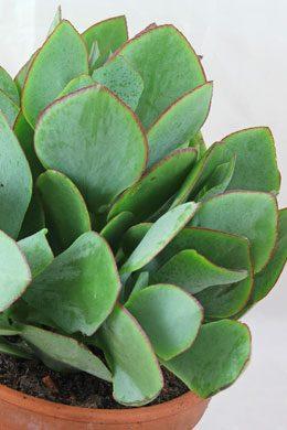 Crassula arborescens (Pfennigbaum)