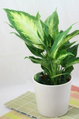 Dieffenbachia-Hybride Camilla