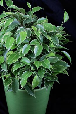 Ficus Kinky