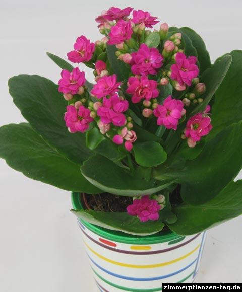 Zimmerpflanzen Für Sonnige Standorte flammendes käthchen kalanchoe kalanchoë blossfeldiana
