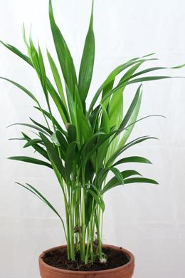 Goldfruchtpalme (Dypsis lutescens)