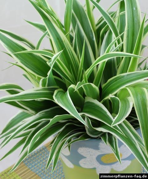 gr nlilie chlorophytum comosum. Black Bedroom Furniture Sets. Home Design Ideas