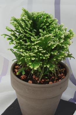 Selaginella martensii (Moosfarn, Mooskraut)