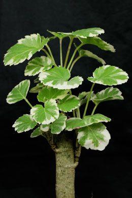 Polyscias scutellaria balfouriana (Fingeraralie)