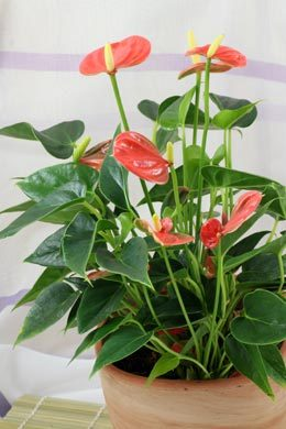 Anthurium-Hybride (Flamingoblume)