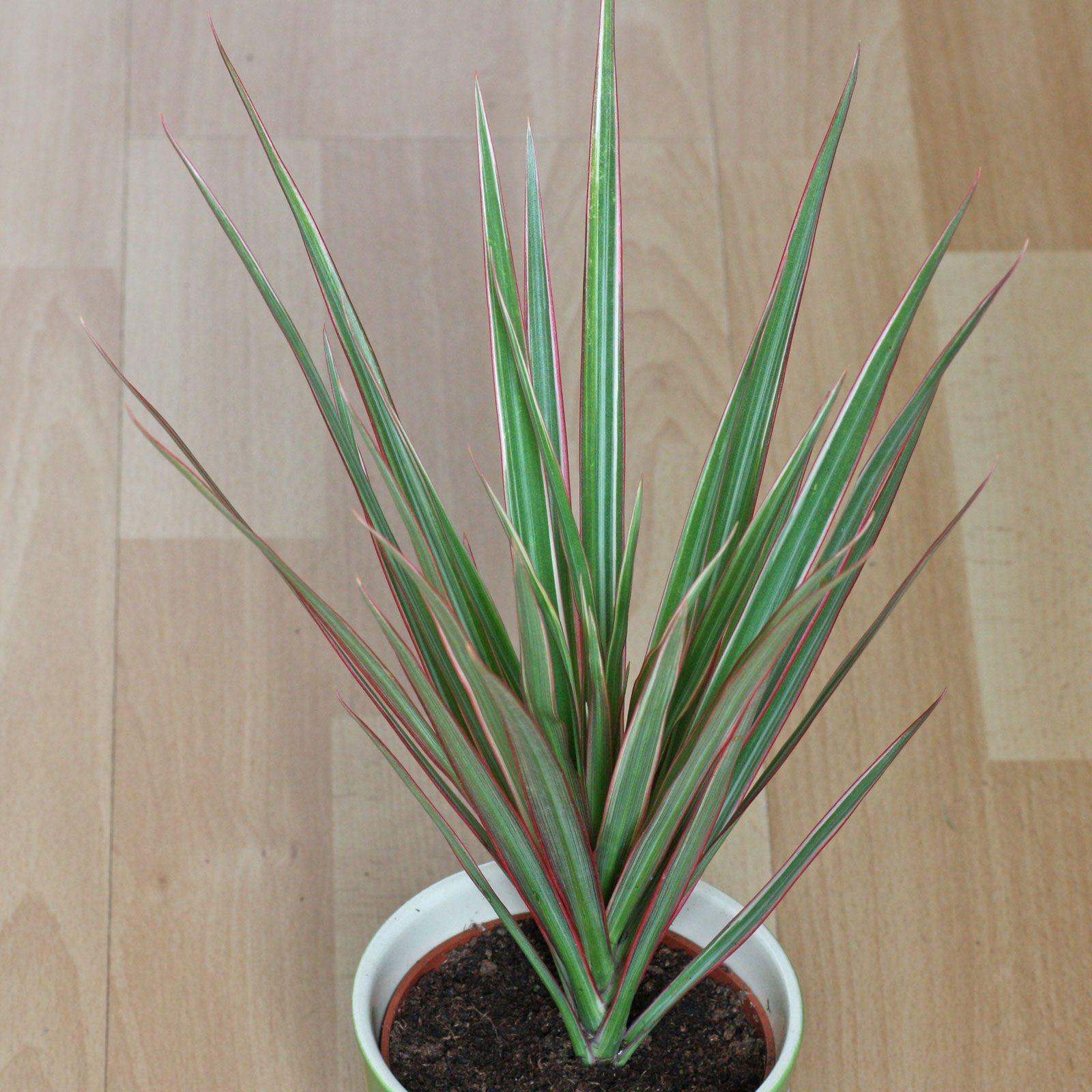 drachenbaum dracaena reflexa syn marginata. Black Bedroom Furniture Sets. Home Design Ideas