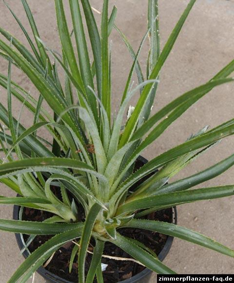 Fascicularia bicolor