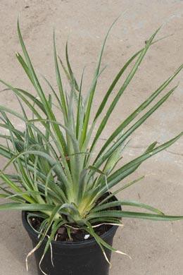 Fascicularia bicolor (Erdbromelie)