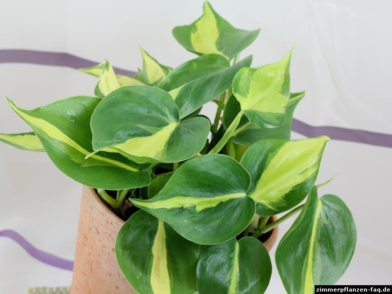 kletterpiholodendron philodendron hederaceum scandens. Black Bedroom Furniture Sets. Home Design Ideas