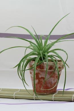 Puya berteroniana (Erdbromelie)