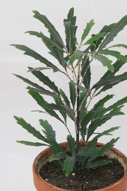 Schefflera elegantissima (Fingeraralie)