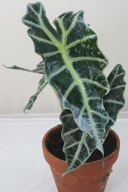 Alocasia sanderiana (Alokasie)