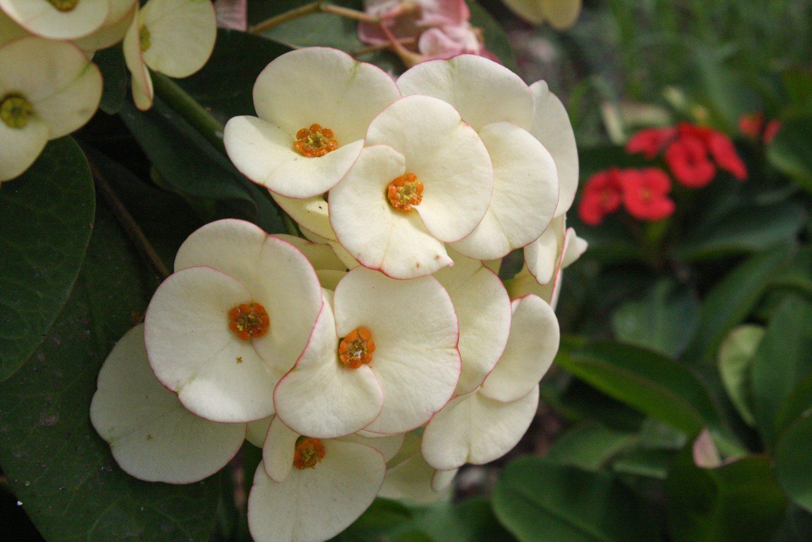 Christusdorn Blüten