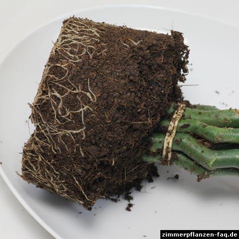 Euphorbia tithymaloides Wurzeln