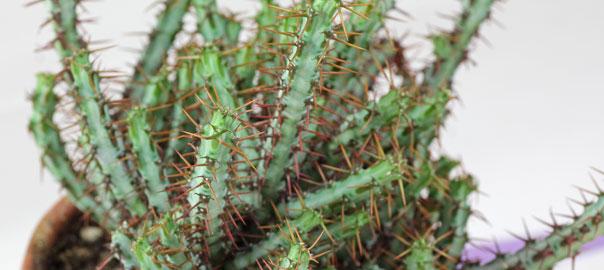 Atemberaubend Christusdorn (Euphorbia milii) &FB_81