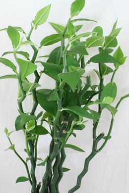 Euphorbia (syn. Pedilanthus) tithymaloides (Teufelsrückgrat)