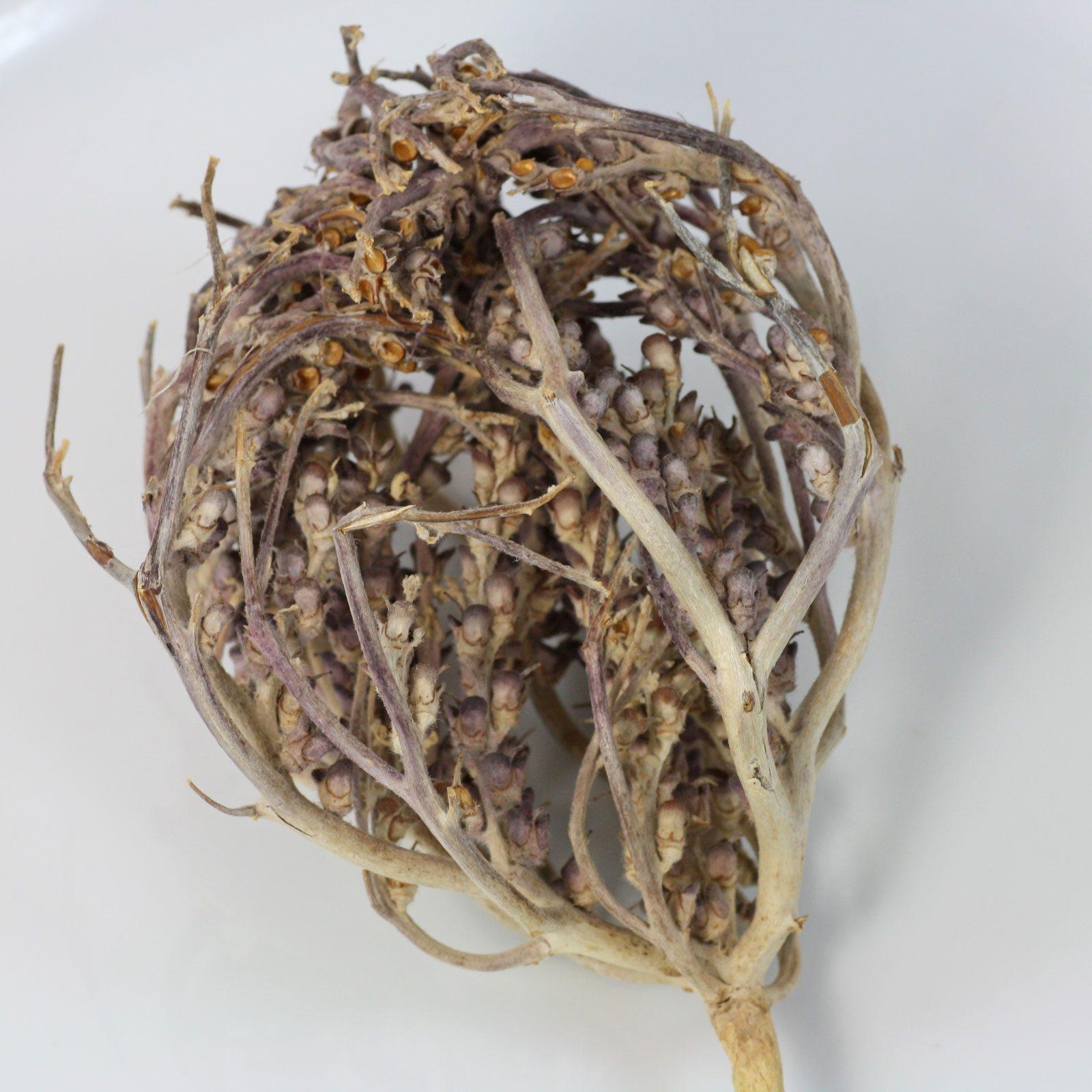 Anastatica hierochuntica