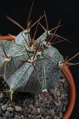 Astrophytum myriostigma (Bischofsmütze)