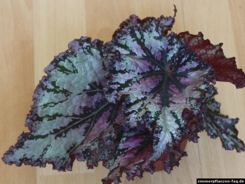 Begonia-Rex