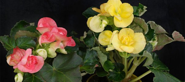 Zimmerbegonien (Begonia) ~ 26155015_Sukkulenten Überwintern Temperatur