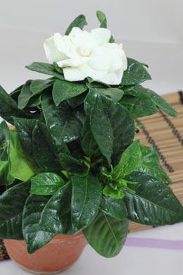 Gardenia jasminoides (Gardenie)