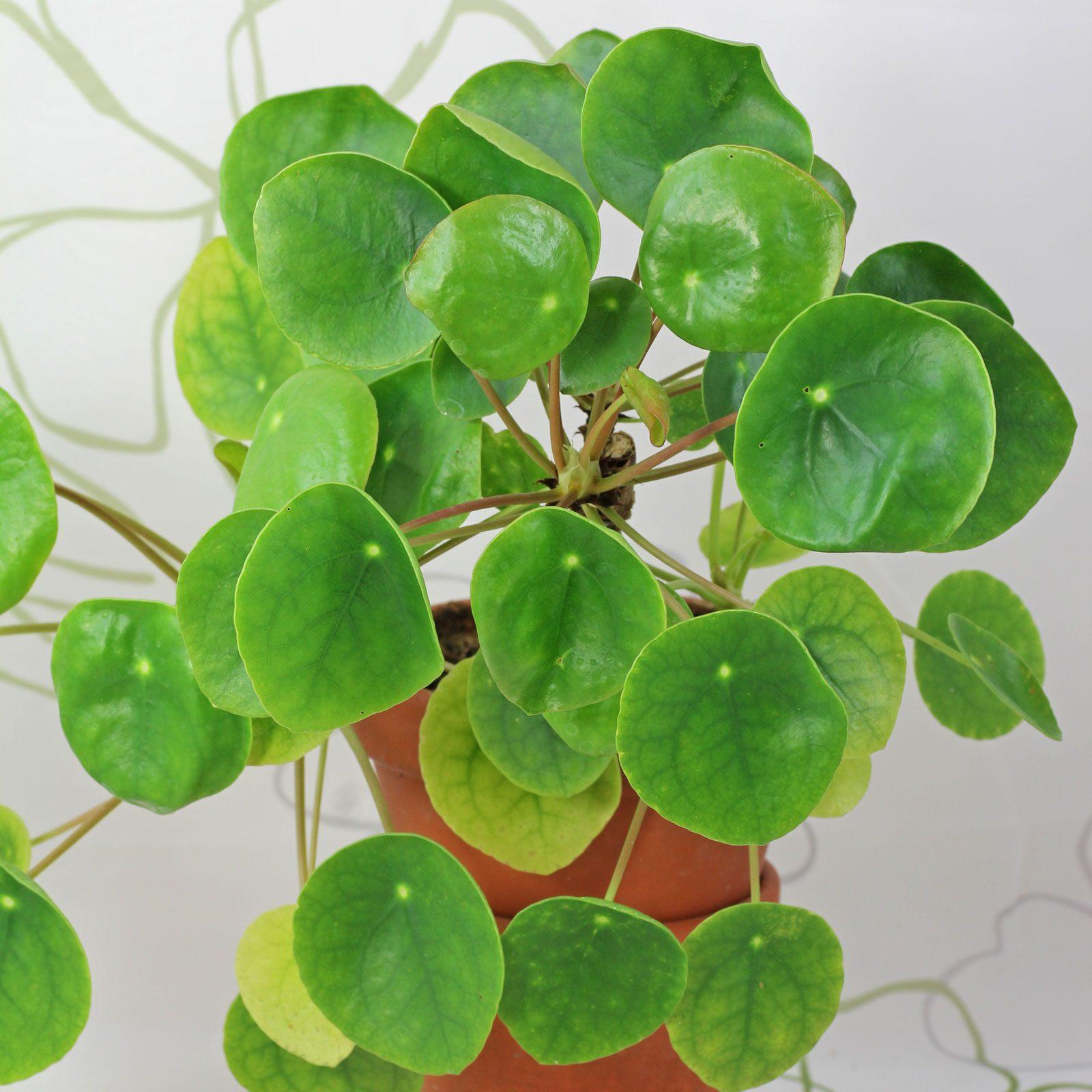 Glückspflanze