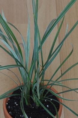 Ophiopogon jaburan (Schlangenbart)