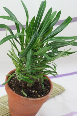 Pachypodium lamerei (Madagaskarpalme)