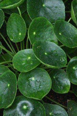 Pilea peperomioides (Ufopflanze)