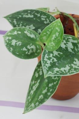 Scindapsus pictus (Gefleckte Efeutute)