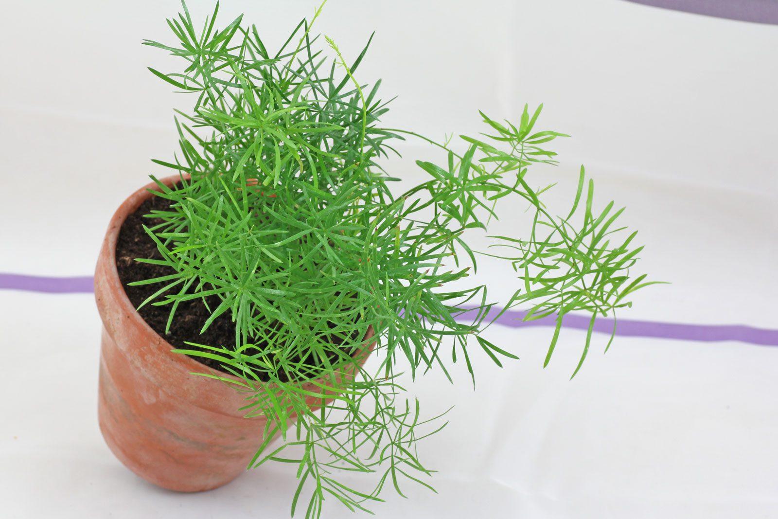 Zierspargel asparagus densiflorus - Zimmerpflanze sonnig ...