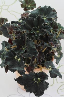 Begonia rex-Hybride (Zimmerbegonie)