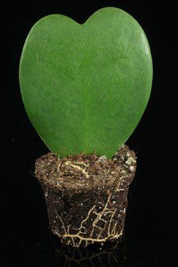 Hoya kerrii (Wachsblume, Herzblatt-Pflanze)