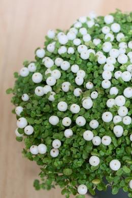 Nertera granadensis (Korallenmoos, Korallenbeere)