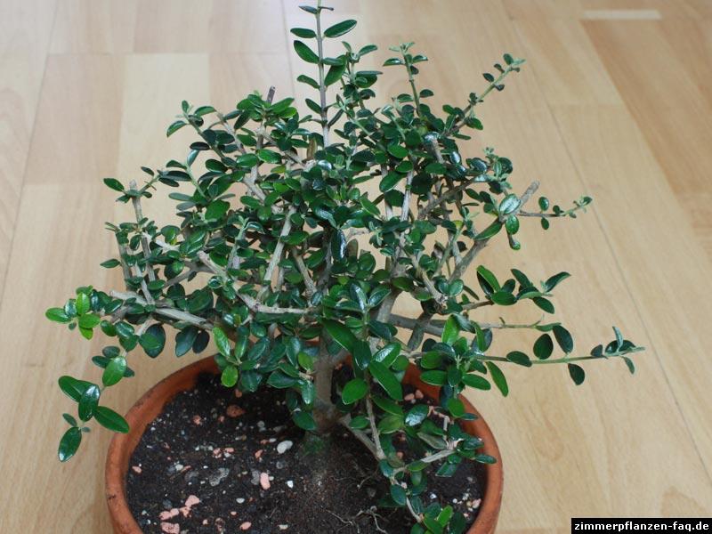 olivenbaum im zimmer olivenbaum carmens bonsai garten online shop f r bonsai olivenbaum olea. Black Bedroom Furniture Sets. Home Design Ideas
