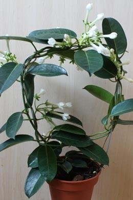 Kranzschlinge stephanotis floribunda - Zimmerpflanze sonnig ...