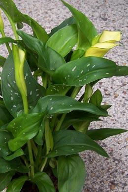 Zantedeschia-Hybride (Calla)
