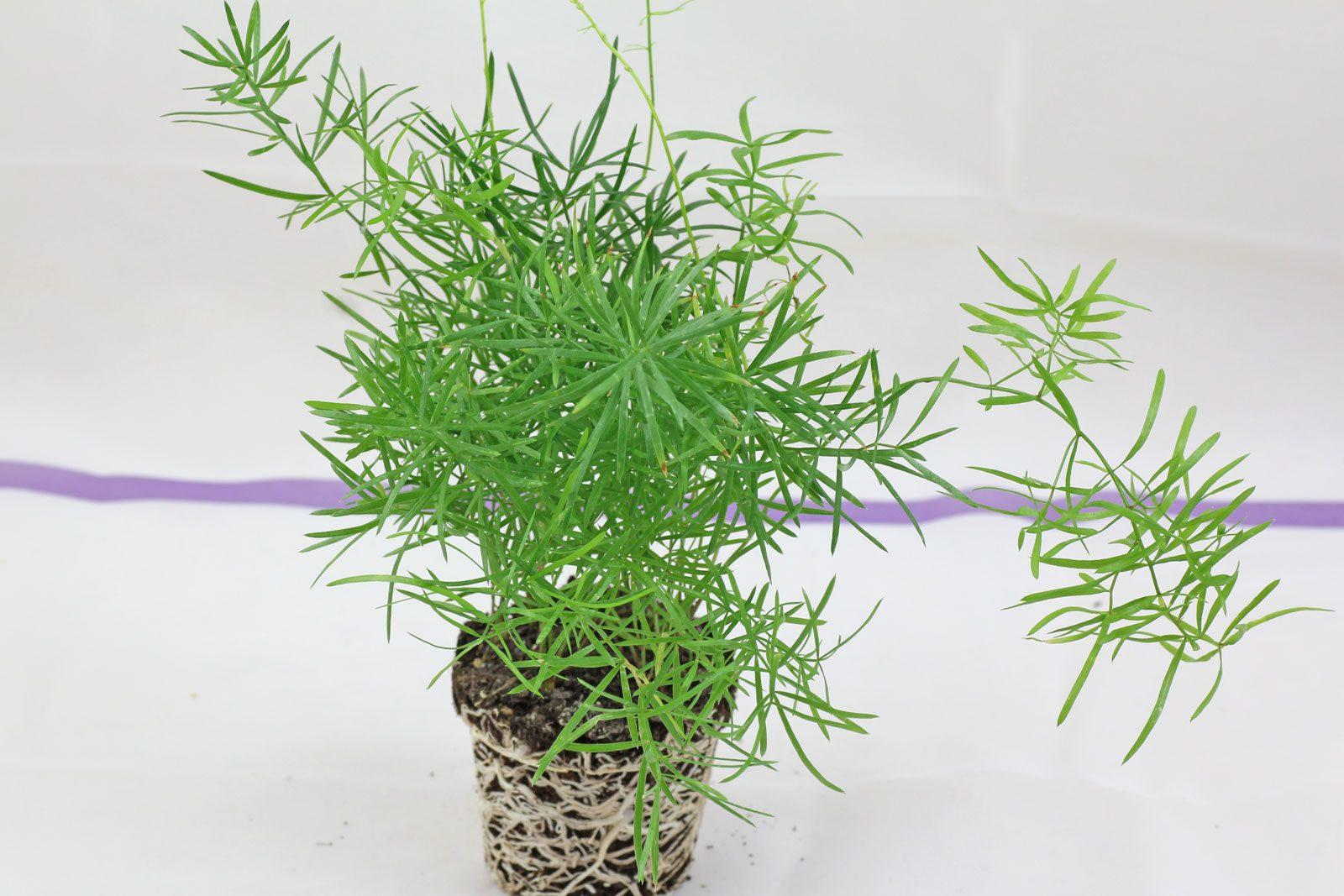 Zierspargel Asparagus Densiflorus