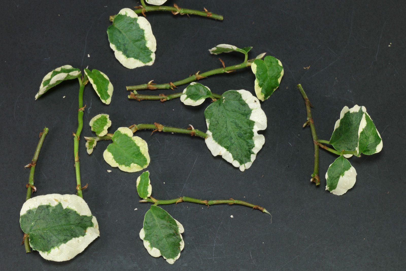 Ficus Stecklinge
