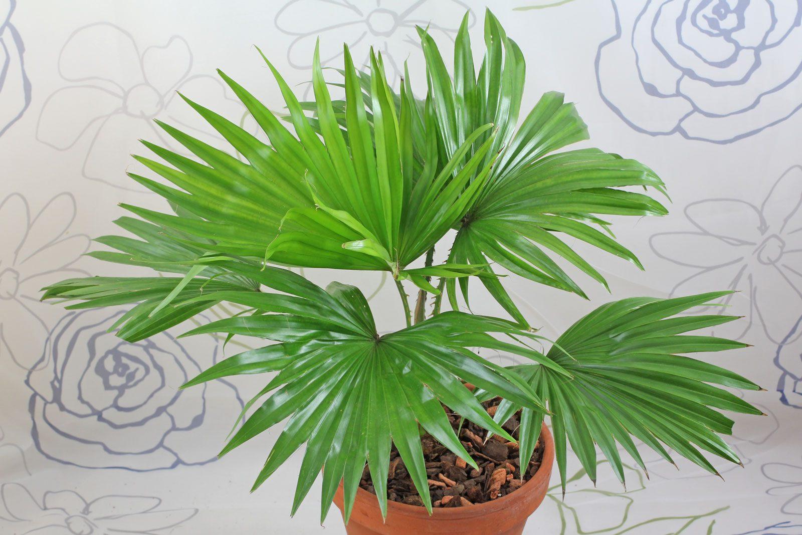 Livistona rotundifolia saribus rotundifolius - Zimmerpalme arten ...