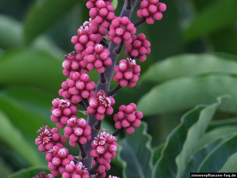 Schefflera Blüten