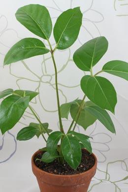 Schefflera actinophylla (Strahlenaralie)